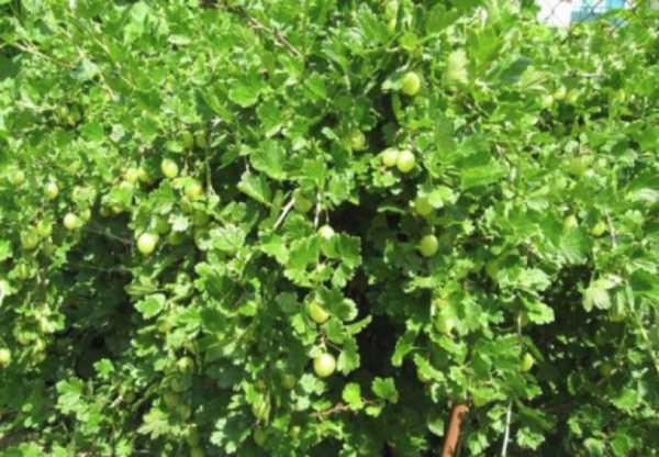 Крыжовник малахит: описание урожайного сорта