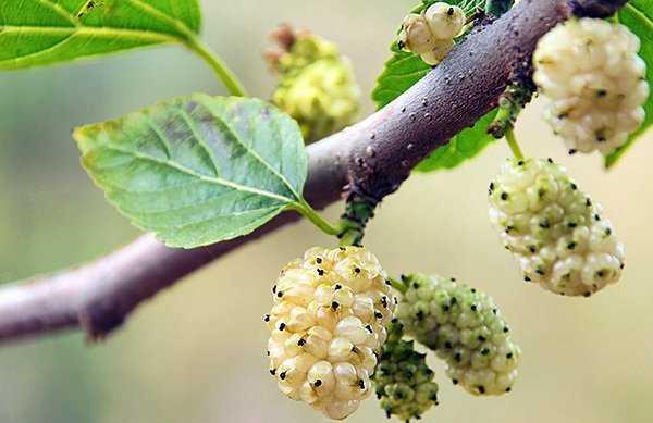 Шелковица белая сушеная полезные свойства — Зеленый мир